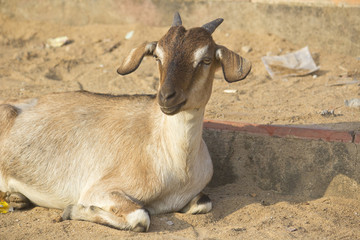 Indian goat