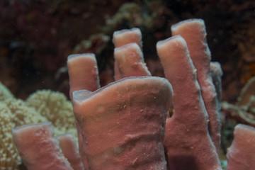 Tuibe sponge in the reef background Raja Ampat