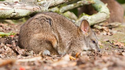 Sleeping parma wallaby