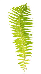 light green fern frond on white