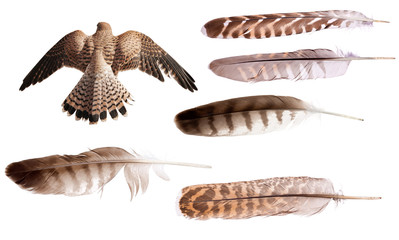flying brown falcon and feathers set isolated on white