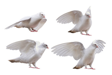set of dove poses isolated on white