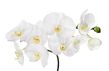large white isolated orchid flowers on branch