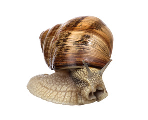 light brown snail on white