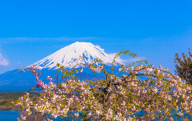Cherry blossom tree and Mount Fuji
