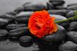 Wet pebbles and set of ranunculus flower