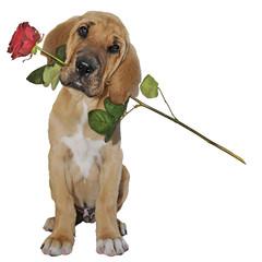 Broholmerwelpe bringt rote Rose