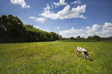 calf on pasture