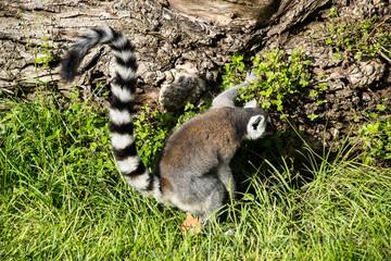 Lemure catta in cerca di cibo