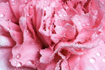 Pink wet carnation flower close-up. Greeting card or background