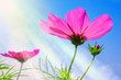 Pink flower of cosmos isolated .