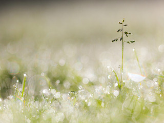 Dew Drops on Grass Plant in the Early Morning With Beautiful Len