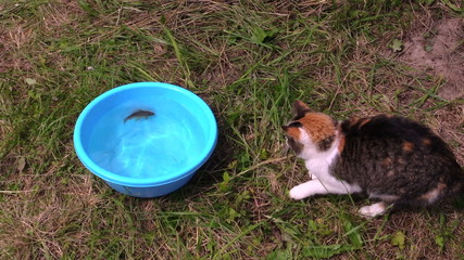 Nice cat catch crucian fish from plastic bowl with water and run