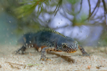 Submersed Alpine Newt with Daphnia
