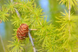 Pine cones on branch