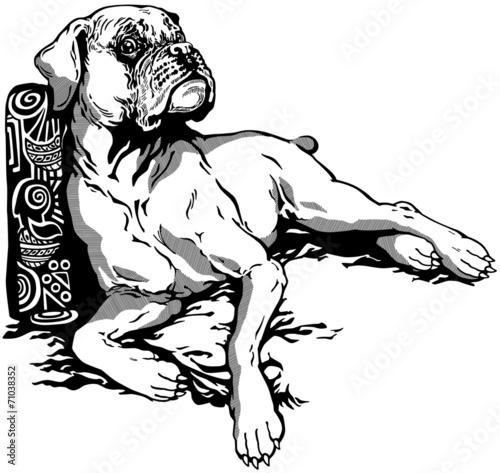 Fototapeta boxer dog black white