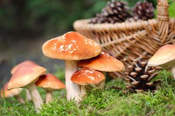 Pilze sammeln gehen