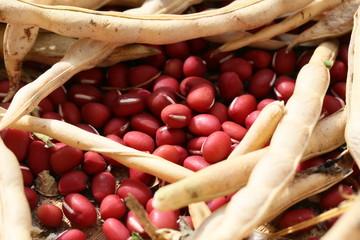 小豆 -adzuki beans-
