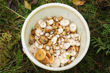 mushrooms in a bucket
