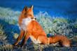 red fox - 71041177