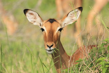 impala mammiffero selvaggio della savana africa