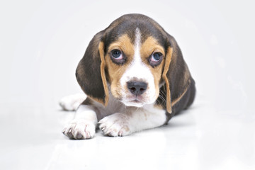 puppy dog - beagle