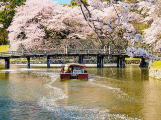 beautiful Sakura blossom at Hikone, Japan