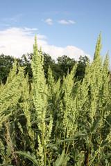 plant Rumex confertus