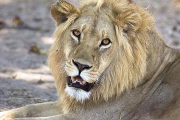 Wild male lion portrait