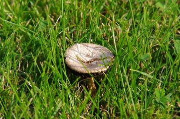 Pilz auf Rasen 1