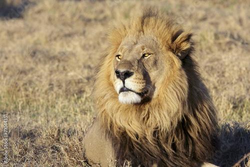 Staande foto Leeuw Wild male lion portrait