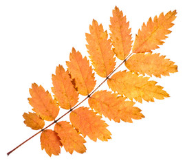 Rowan yellow leaf isolated