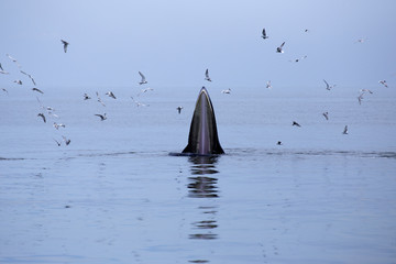 whales (Balaenoptera brydei) eating Anchovy fish
