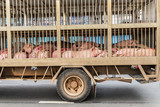 transport of slaughter pigs by truck