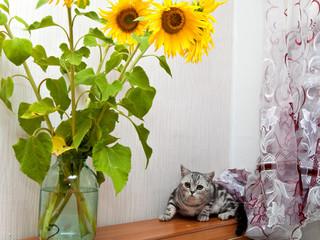Британский кот. Животное