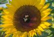 canvas print picture - Zwei Bienen auf einer Sonnenblume