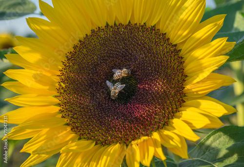 canvas print picture Zwei Bienen auf einer Sonnenblume