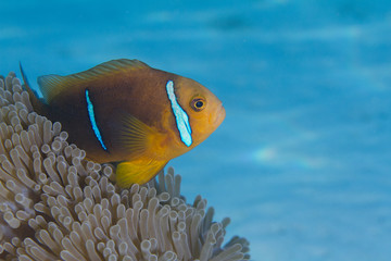 Orange-fin Anemonefish in Anemone in Bora Bora, French Polynesia
