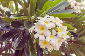 Close up of plumeria or frangipani blossom