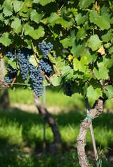 Reife Weintrauben auf Weeinstöcken