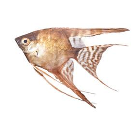 beautiful fish on a white background