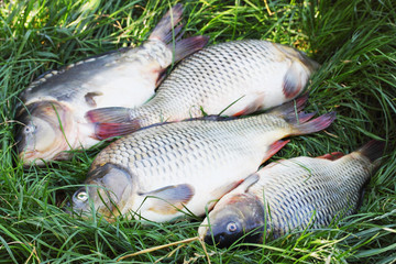 river carp on the grass