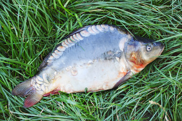 mirror carp on the grass