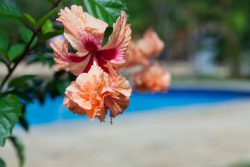 Hibiscus Bloom by Pool