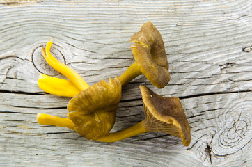 Fresh raw yellowfoot mushrooms