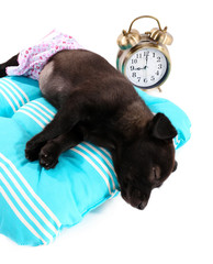 Puppy on a soft blue pillow isolated on white