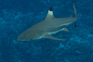 Blacktip Reef Shark Underwater in Bora Bora, French Polynesia