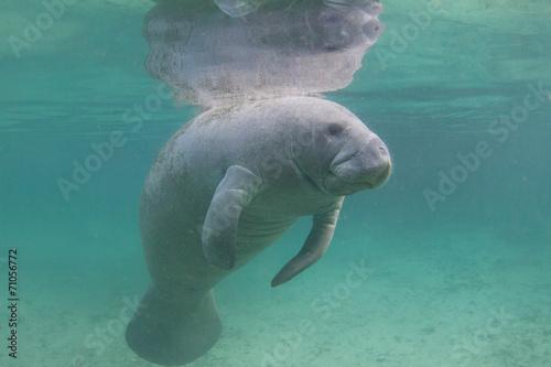 Leinwandbild Motiv Florida Manatee Underwater