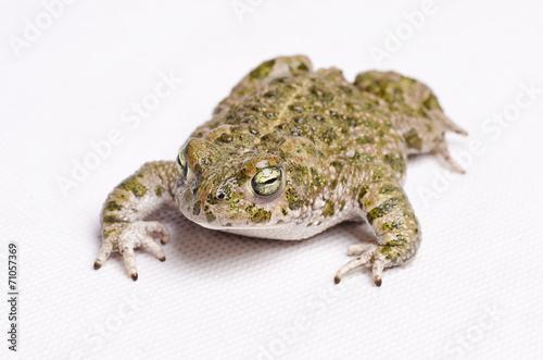 Foto op Plexiglas Kikker Runner toad