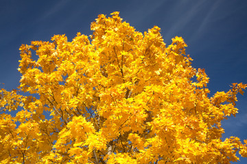 Maple leaves on a tree in autumn over blue sky